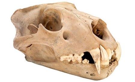barbary-lion-skull-banner_112757_1